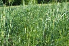 Feuilles vertes succulentes d'aneth à la lumière du soleil lumineuse à la ferme Produits biologiques croissants verdure L'aneth e photos stock