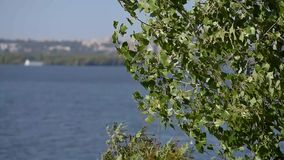 Feuilles vertes sur le bruissement d'arbre avec le vent clips vidéos