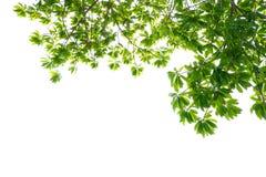 Feuilles vertes tropicales asiatiques qui ont isolé sur un fond blanc image stock