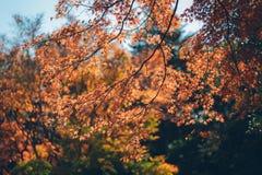 Feuilles vibrantes d'Autumn Maple de Japonais Photo stock