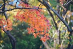 Feuilles vibrantes d'Autumn Maple de Japonais Images libres de droits