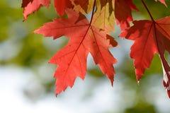 Feuilles vibrantes lumineuses d'arbre d'érable de couleur (acer) image libre de droits