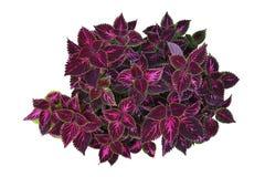 Feuilles violet-foncé avec la jante vert clair du jardin tropical Cole Photos libres de droits