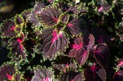 Feuilles violettes et vertes d'une usine de koleus, scutellarioides de Plectranthus image stock