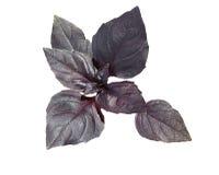 Feuilles violettes fraîches de basilic Photo stock