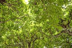 Feuilles vives parfaites de vert d'arbres photo stock