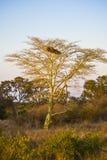 Fever Tree Stock Image