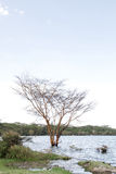 A fever tree on the bank of lake Naivasha, kenya Royalty Free Stock Photography