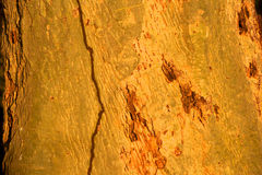 Fever Tree Bark Abstract Stock Photos