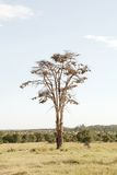 Fever tree and clusters of weaver bird nests Stock Photography