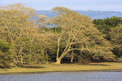 Fever Tree Forrest. At the edge of a lake stock photo