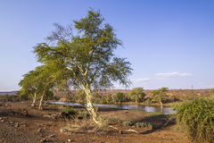 Fever tree in Kruger National park, South Africa Stock Photography