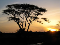 Fever tree at sunset. A silhouetted yellow fever tree against a yellow sunset. Ol Pejeta Conservancy, Kenya Stock Images