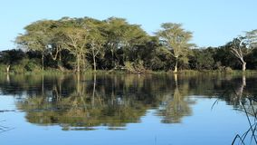 Fever trees and lake landscape. Distinctive fever trees Vachellia xanthoploea growing on the edge of a lake, Mkuze game reserve, South Africa stock video footage