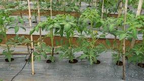 22, fevereiro 2017 de Dalat- plantas de tomate na casa verde, tomates frescos Foto de Stock Royalty Free