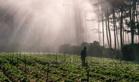 18, fevereiro 2017 - o fazendeiro protege seus morango e raios no fundo Dalat- Lamdong, Vietname Imagem de Stock Royalty Free