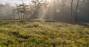 18, fevereiro 2017 - raios na floresta Dalat- Lamdong do pinho, Vietname Imagem de Stock