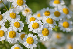 Feverfew Stock Photography