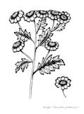Feverfew. With detail of flower Stock Images