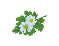 Feverfew fotografia de stock royalty free