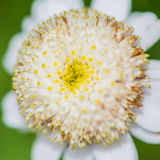 Feverfew Bloom Royalty Free Stock Photos