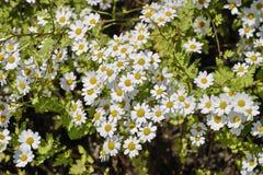 Feverfew de florecimiento, parthenium del crisantemo, parthenium del Tanacetum, Baviera, Alemania, Europa fotos de archivo libres de regalías