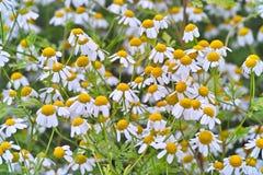 Feverfew de plante médicinale avec beaucoup de fleurs dans un lit photos stock