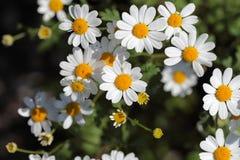 Feverfew floresce (o parthenium do Tanacetum) imagem de stock royalty free