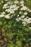 Feverfew flowers. Feverfew - Tanacetum parthenium Royalty Free Stock Photos