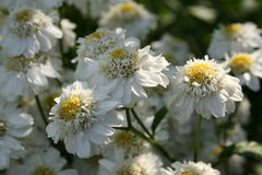 Feverfew Herbal Medicine. The medicinal plant Feverfew in it's non-capsule format Stock Photos