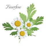 Feverfew kwiecisty element z zielenią opuszcza wektorową ilustrację Zdjęcie Royalty Free