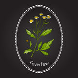 Feverfew - medicinal plant. Vector illustration Stock Image