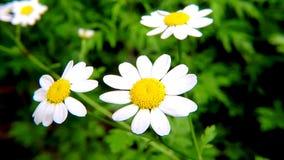 Feverfew, parthenium del crisantemo, medicinal ella con las flores metrajes