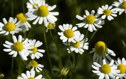 Feverfew (Tanacetum parthenium). Against green background stock photography