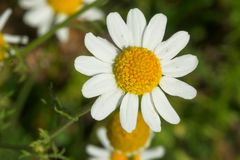 Feverfew - Tanacetum parthenium. Close up of a tiny white Feverfew flower. Also known as Bachelor`s Buttons. Todmorden Mills Park, Toronto, Ontario, Canada stock photos
