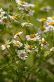 Feverfew - Tanacetum parthenium - Daisy Flowers Royalty Free Stock Photos