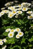 Feverfew-Tanacetum Parthenium in der Blume Masse von Weiß- und Gelbblumen des traditionellen medizinischen Krauts im Korbblütler  Stockfoto