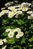 Feverfew Tanacetum parthenium in flower. Mass of white and yellows flowers of traditional medicinal herb in the daisy family As. NFeverfew Tanacetum parthenium Stock Illustration