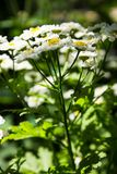 Feverfew Tanacetum parthenium in flower. Mass of white and yellows flowers of traditional medicinal herb in the daisy family As. Teraceae Stock Illustration