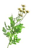 Feverfew (Tanacetum parthenium). Flowering plant in front of white background Royalty Free Stock Photography