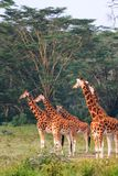 Few żyrafa w Nakuru parku Nakuru, Kenja fotografia royalty free