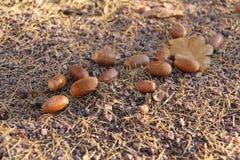 Few acorns kłama z dębowym liściem na sosnowych igłach obraz stock