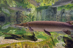 Few alligator gars swimming in clear water. With their reflection on the surface. They are the largest in the gar family, and among the largest freshwater Stock Photography