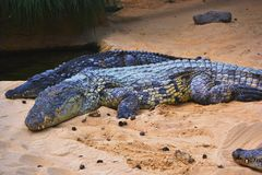 A few alligators. Just take the picture en leave this area Stock Photography