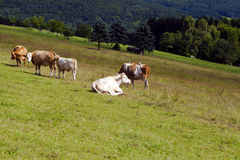 Few alpine cows on pasture Stock Photo