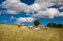 Few alpine cows on summer meadow Royalty Free Stock Photo