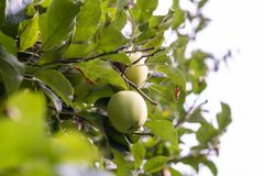 A few Apples hanging on an Apple Tree and are surrounded by many leaves. A few Apples hanging on an Apple Tree and are surrounded by many green leaves. The tree stock images