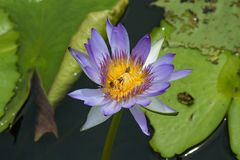 Purple water lily with many bees looking for nectar. stock photo