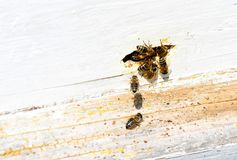 Bee Hive. Few bees working in a bee hive stock photography