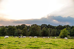Few black and white cows eating on pasture Stock Photos